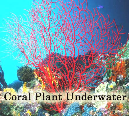 Red Coral Underwater Plant Red Coral gemstone